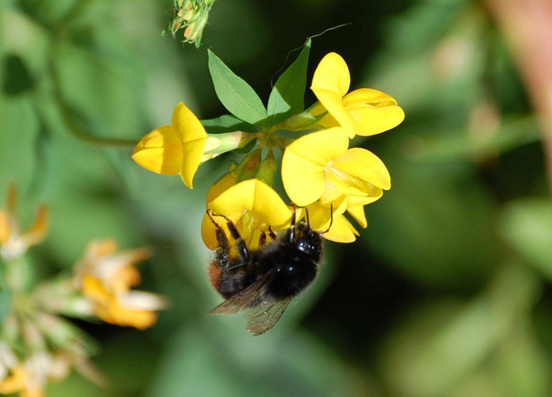 bee on yellow (1)