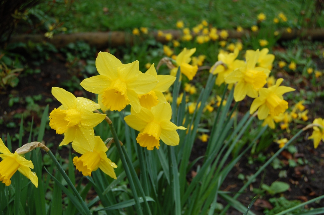Daffs at Chalice Well M17 (1)